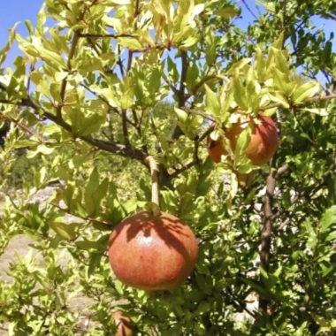 Pomegranate Tree Jpg