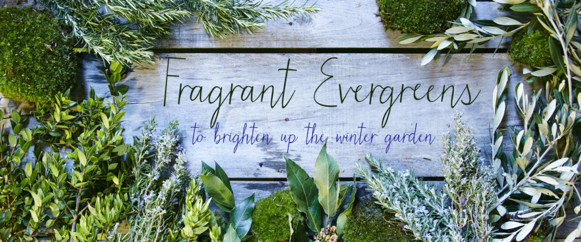 Gluttonous Gardener Fragant Evergreens