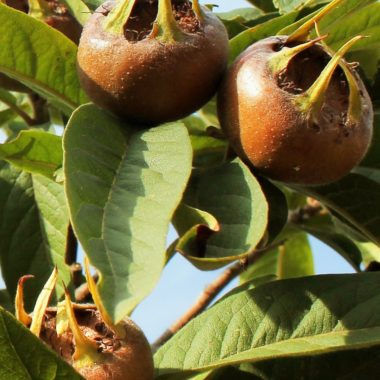 Medlar Care Guide