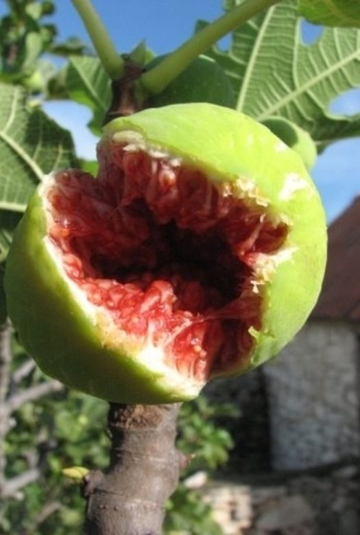 Fig Close up
