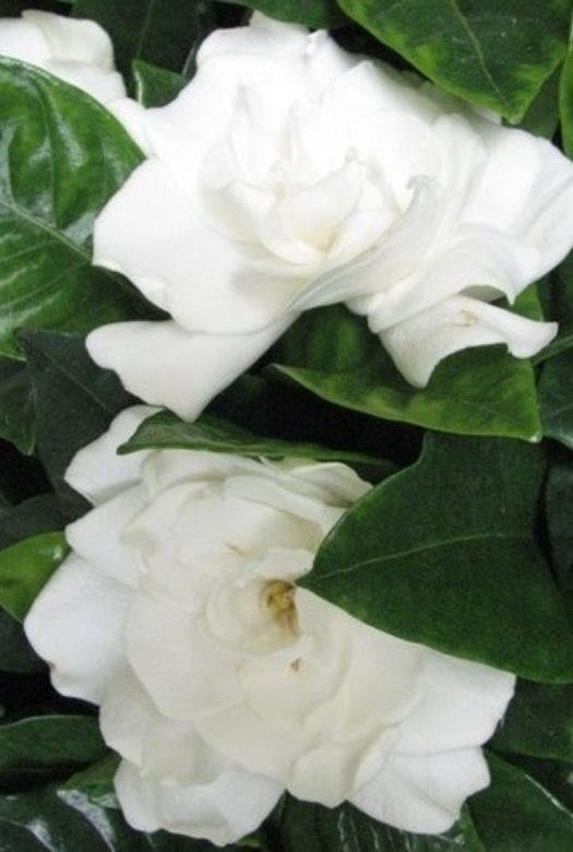 Gardenia Flowers Close Up