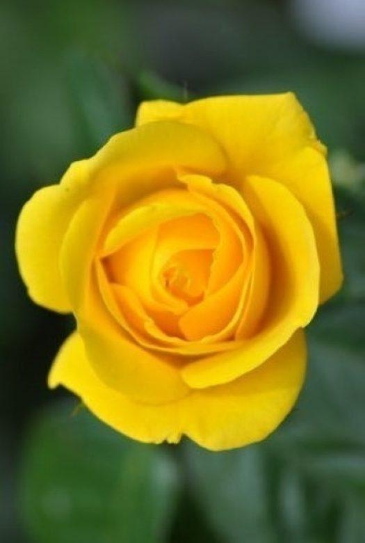 Golden Wedding Rose