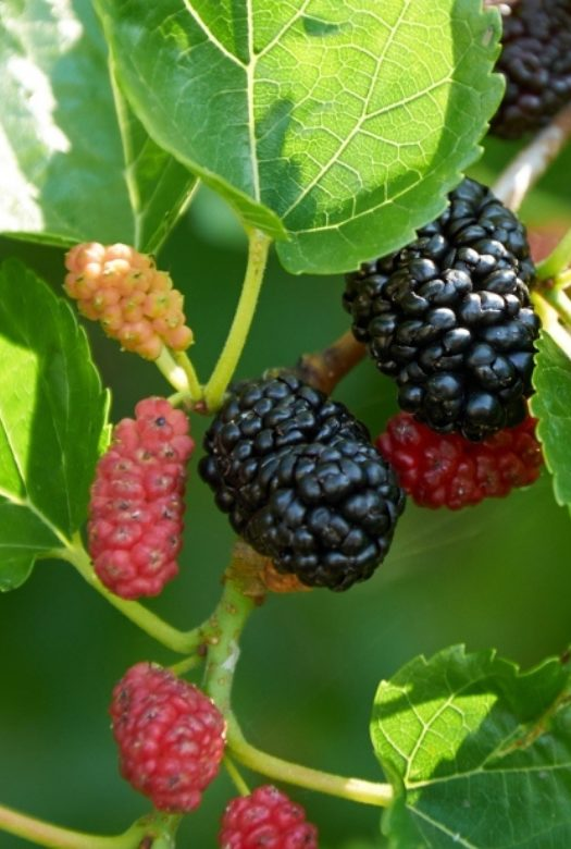 Mulberry Close Up