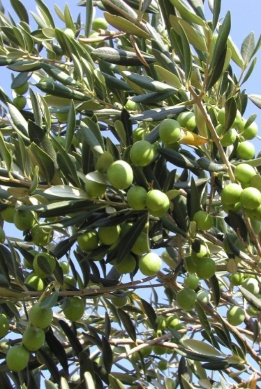 Olive Tree Close up