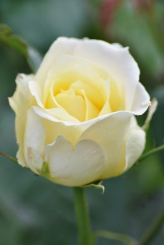 Pearl Rose Close Up