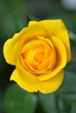 Golden Wedding Rose