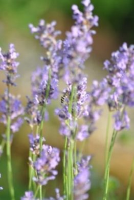Lavender Close Up