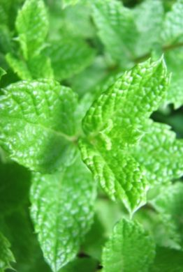 Moroccan Mint Close Up