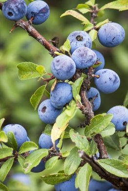 Sloes Fruit