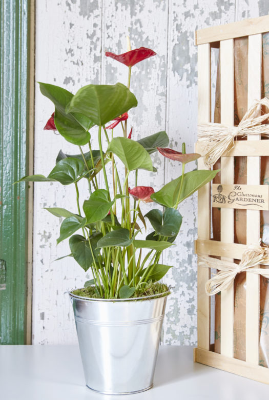 Anthurium House Plant Gift