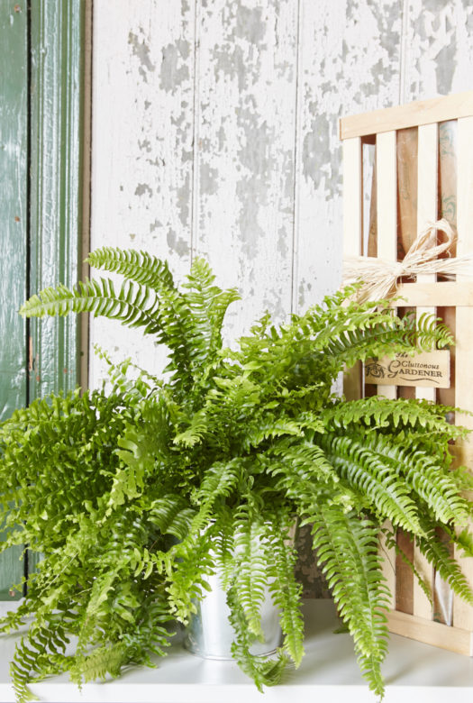 Fern House Plant Gift