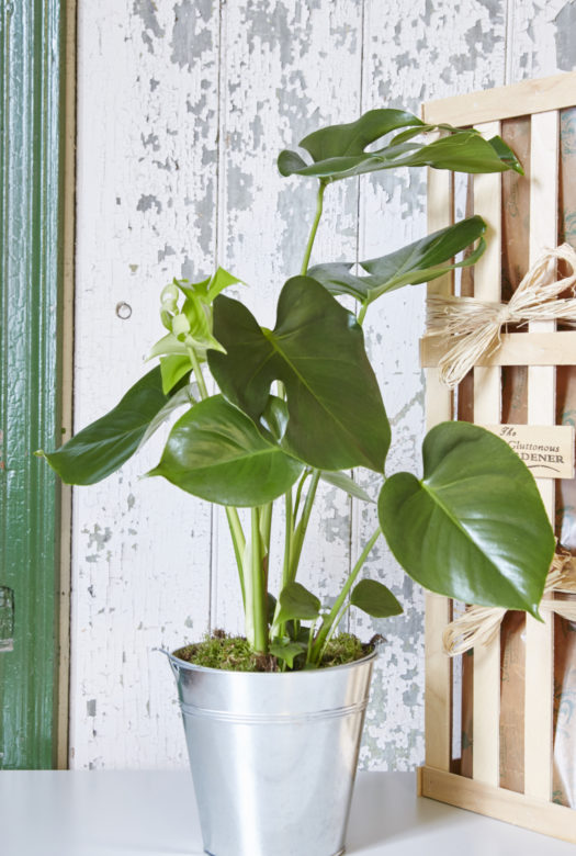 Monstera House Plant Gift