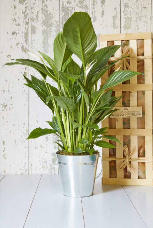 Peace Lily Indoor Gift Plant