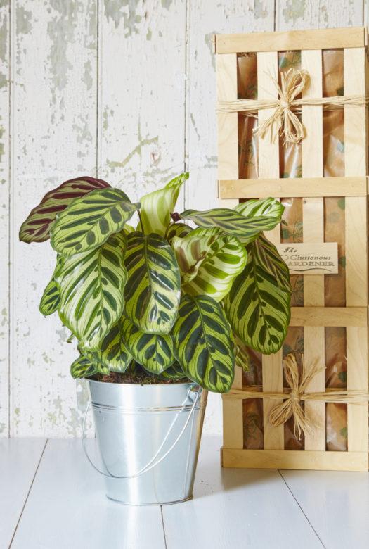 Peacock Indoor Gift Plant