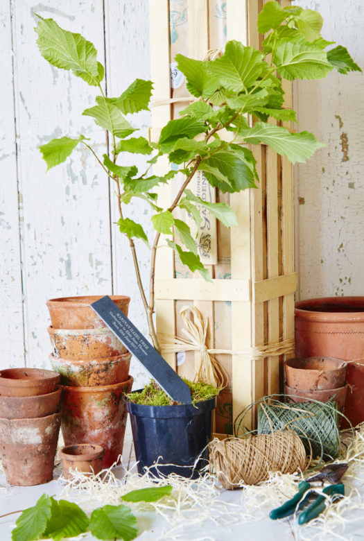 Personalised Godfather Hazel Tree Gardening Gift