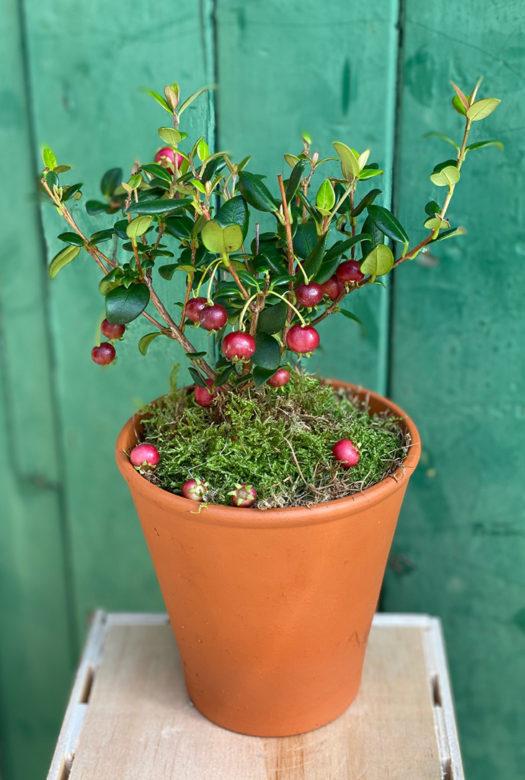 Strawberry Guava Crate