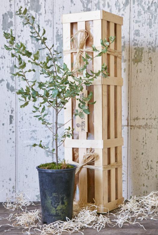 The Evergreen Oak Tree Gift