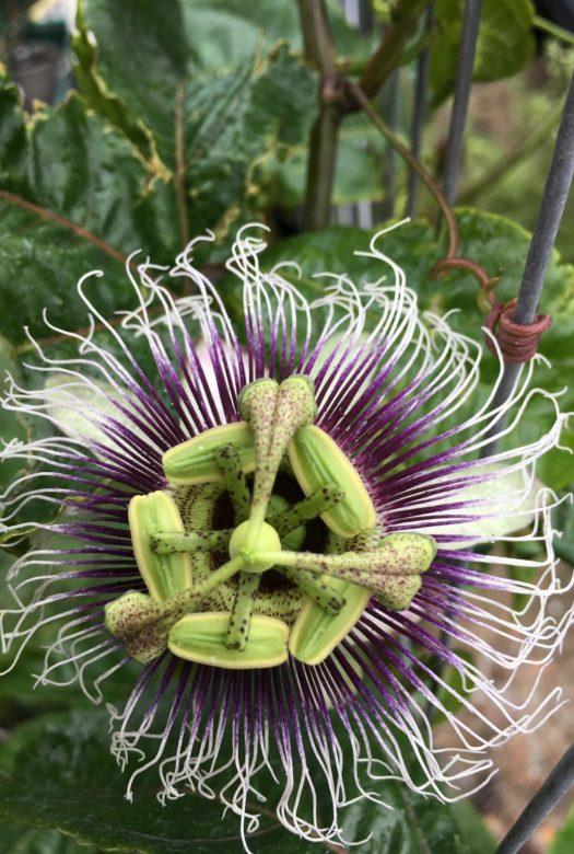 Edible Passion Fruit Close Up