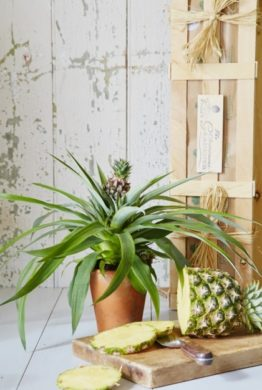 The Pineapple Plant Gift Box