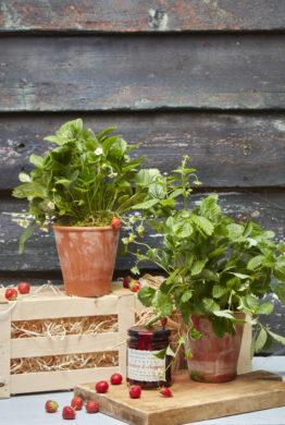 Wild Strawberry Plant Gift