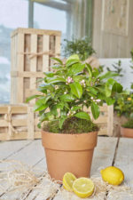 Wild Strawberry Plant Gift Close Up